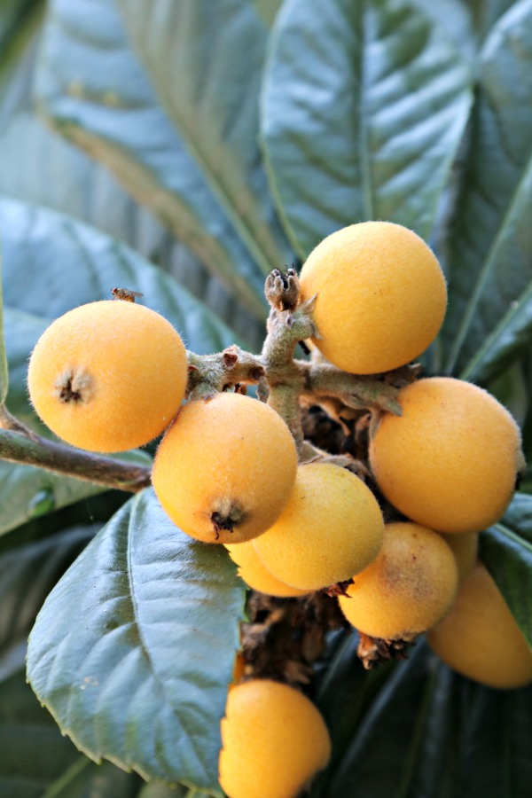 loquats on the tree