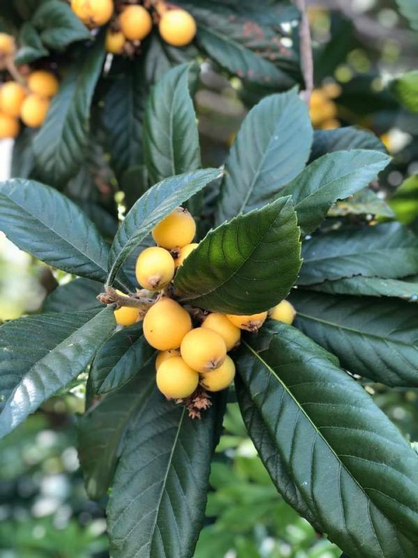 loquat tree with ripe loquat fruit